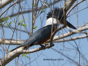 Ringed Kingfisher from Estero Llano Grande State Park, Texas