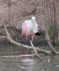 Roseate Spoonbill in southern Texas