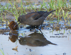 Rusty Blackbird in eastern Henrico County, Virginia