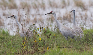 Sandhill Cranes in Hidalgo County, Texas