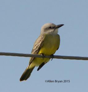 Tropical Kingbird in southern Texas
