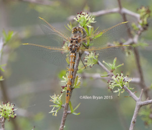 Variegated Meadowhawk-  Sympetrum corruptum- immature male from southern Texas