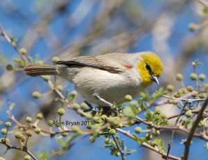 Verdin in southern Texas