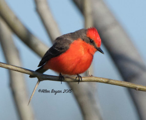 Vermillion Flycatcher in southern Texas