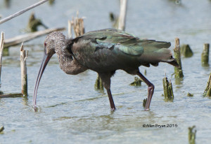 White-faced Ibis @ Estero Llano State Park, Texas