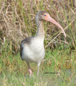 White Ibis in southern Texas