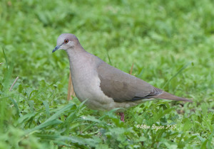 White-tipped Dove in southern Texas