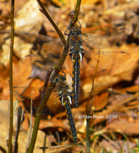 Two male Robust Baskettail in Sussex County, Virginia