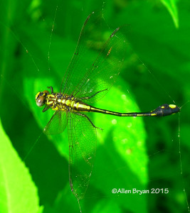 Cobra Clubtail entrapped in spider web