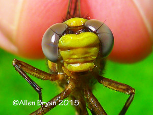Face view of teneral male Cocoa Clubtail