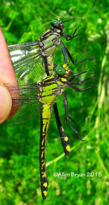 Male & Female Splendid Clubtails from Fluvanna County, Virginia