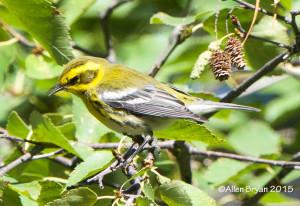 Townsend's Warbler, Montana