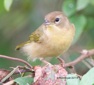 Common Yellowthroat in Charles City County, Virginia