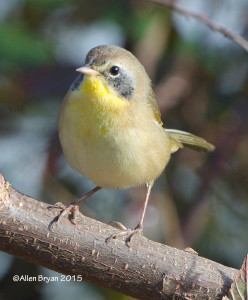 Common Yellowthroat, immature male