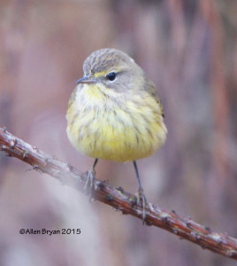 Palm Warbler in Prince George County, Virginia