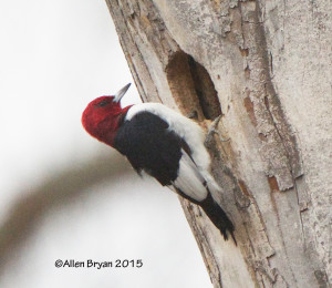 Red-headed Woodpecker in Prince George County, Virginia