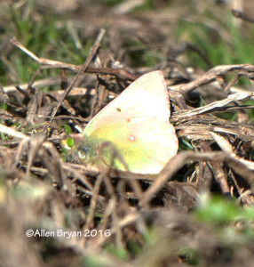 Clouded Sulphur in Charles City County, Virginia