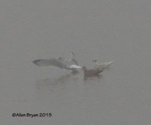 Iceland Gull at City Point in Hopewell, Va.