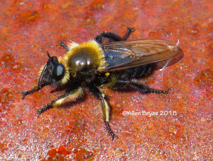 A Robberfly- Laphria affinis