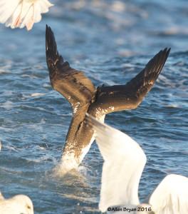 Immature Northern Gannet plunge diving