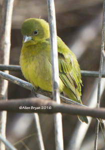 Painted Bunting- female