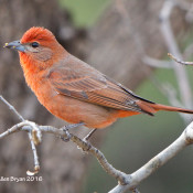 Hepatic Tanager- male