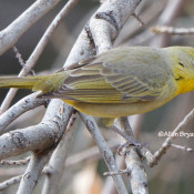 Hepatic Tanager- female