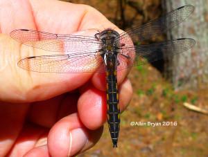 Robust Baskettail- male