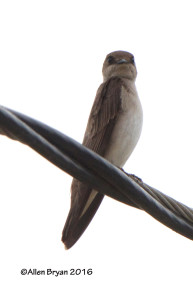 Northern Rough-winged Swallow in Goochland County, Va on March 13, 2016.