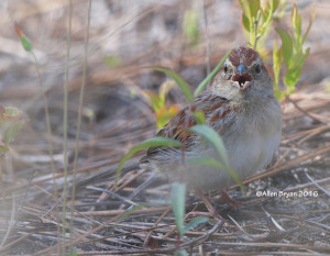 Bachman's Sparrow singing from Richmond County, NC