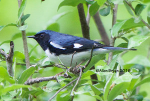 Black-throated Blue Warbler- male in Goochland County, Virginia