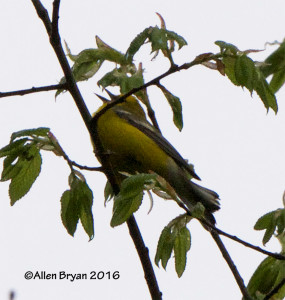 "Blue-winged Warbler along the James River at the ""Wetlands"" in the City of Richmond"