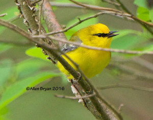 Blue-winged Warbler from Goochland County, Virginia