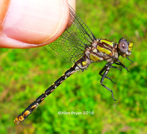 Chesapeake Snaketail, male, from Fluvanna County, Virginia