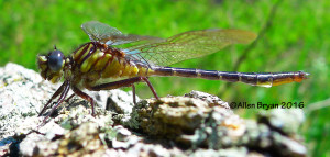 Clearlake Clubtail (Gomphus australis)- male from Scotland County, NC