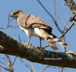 Cooper's Hawk from Fluvanna County, Virginia