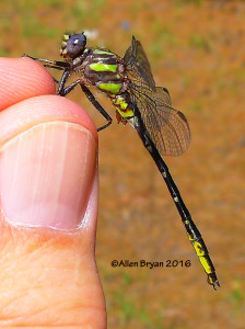 Diminutive Clubtail (Gomphus diminutus)- male from Scotland County, NC