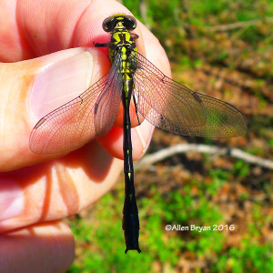 Green-faced Clubtail from Fluvanna County, Virginia