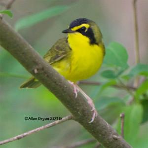 Kentucky Warbler from Goochland County, Virginia