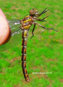 Chesapeake Snaketail (Ophiogomphus susbehcha)- female