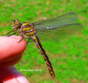 hesapeake Snaketail (Ophiogomphus susbehcha)- female