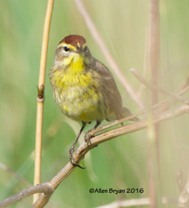 Palm Warbler in Goochland County, Virginia