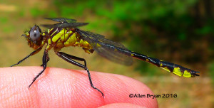 Piedmont Clubtail (Gomphus parvidens carolinus)- male from Scotland County, NC