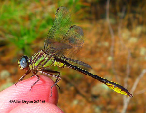 Clearlake Clubtail (Gomphus cavillaris)- male from Bladen County, North Carolina