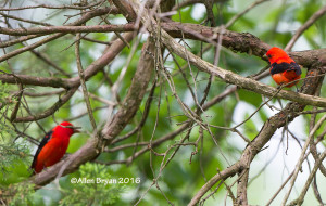 Scarlet Tanagers-males in Goochland County, Virginia
