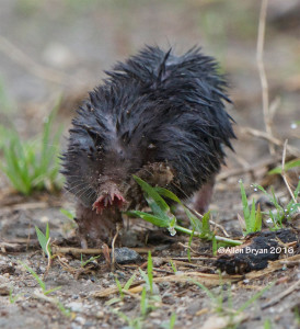 Star-nosed Mole in Goochland County, Virginia