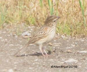 Vesper Sparrow in Goochland County, Virginia