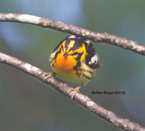 Blackburnian Warbler in Halifax County, Virginia
