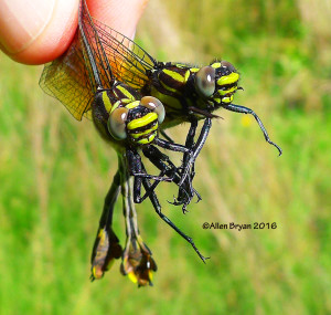 Blackwater Clubtail (Gomphus dilatatus) from Halifax County, Virginia