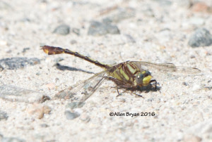 Cocoa Clubtail (Gomphus hybridus) from Halifax County, Virginia